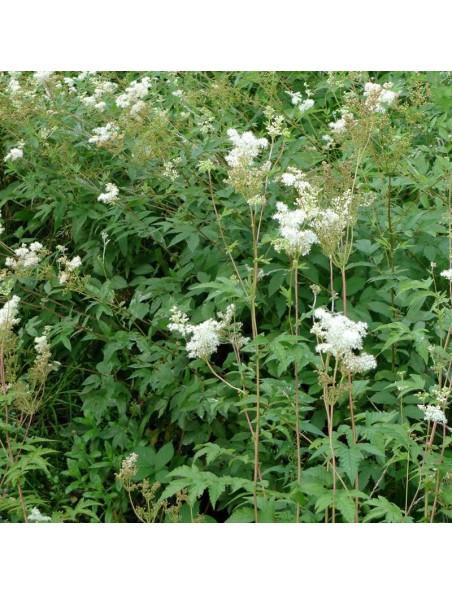 Reine des Prés Bio - Suspension Intégrale de Plante Fraîche (SIPF) 100 ml - Synergia
