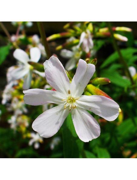 Saponaire blanche - Racine 100g - Tisane de Gypsophila ssp