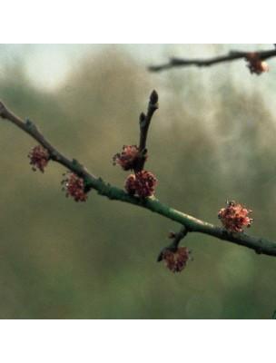 https://www.louis-herboristerie.com/10242-home_default/elm-orme-20-ml-n-11-fleurs-de-bach-original.jpg