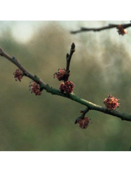 Elm (Orme) N° 11 - Perte de confiance 20ml - Fleurs de Bach Original