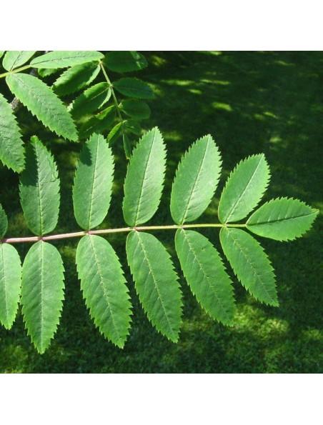 Sorbier bourgeon Bio - Circulation et acouphènes 50 ml - Herbalgem
