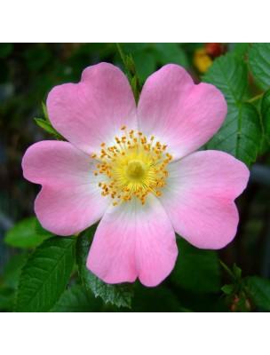 https://www.louis-herboristerie.com/10268-home_default/rosier-sauvage-bourgeon-bio-defenses-immunitaires-de-l-enfant-15-ml-herbalgem.jpg