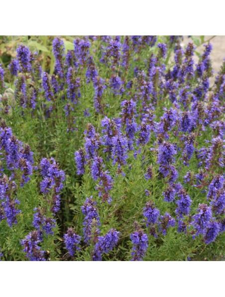 Hysope Bio - Sommité fleurie 100g - Tisane d'Hyssopus officinalis L.