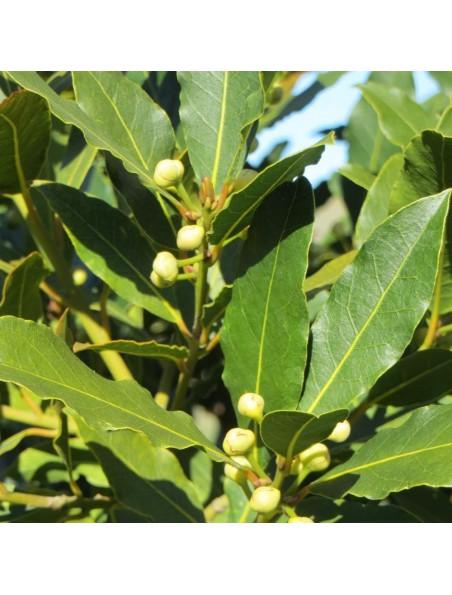 Laurier noble Bio - Feuilles coupées 50g - Tisane de Laurus nobilis L.