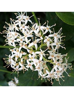 https://www.louis-herboristerie.com/10326-home_default/cornouiller-bourgeon-bio-15-ml-herbalgem.jpg