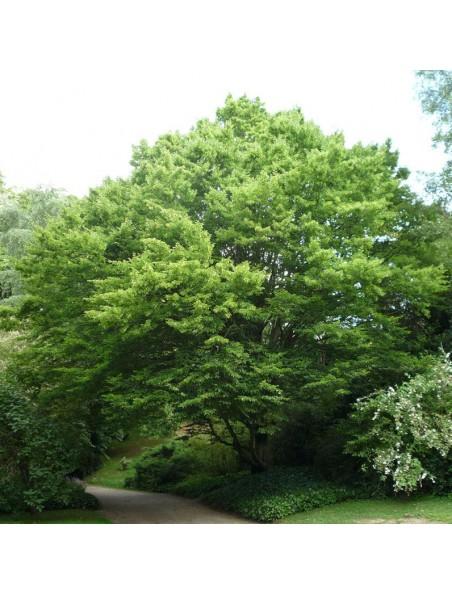 Charme bourgeon Bio - Respiration et Circulation 50 ml - Herbalgem