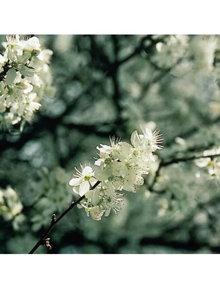 Cherry Plum (Prunus) N°6 - Perte de contrôle 20 ml - Fleurs de Bach Original