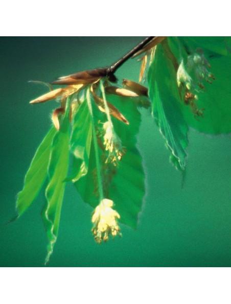 Beech (Hêtre) N°3 - Manque de compassion 20 ml - Fleurs de Bach Original