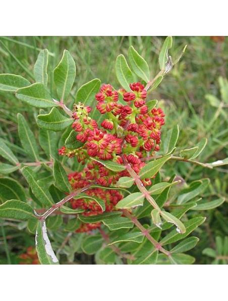 Lentisque pistachier Bio - Pistacia lentiscus 5 ml - Pranarôm