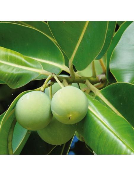 Calophylle (Tamanu) Bio - Calophyllum inophyllum 50 ml - Pranarôm