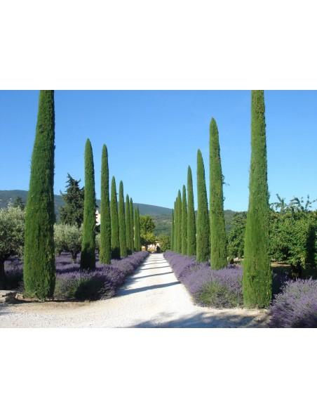 Cyprès de Provence (Cyprès toujours vert) Bio - Huile essentielle de Cupressus sempervirens 30 ml - Pranarôm