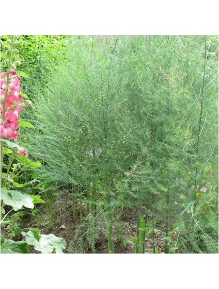 Asperge Bio - Draineur Teinture-mère Asparagus officinalis 50 ml - Herbiolys