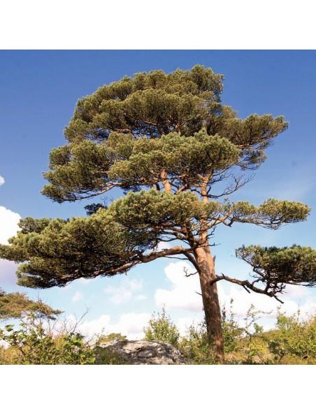 Pin sylvestre Bio - Pinus sylvestris 10 ml - Pranarôm