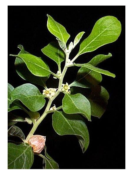 Ashwagandha 5000 (Ginseng indien) Bio - Détente et équilibre mental 90 gélules - Be-Life