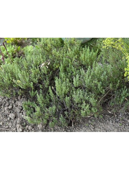 Thym Bio - Respiration Jus de plante fraîche Thymus vulgaris 200 ml – Salus