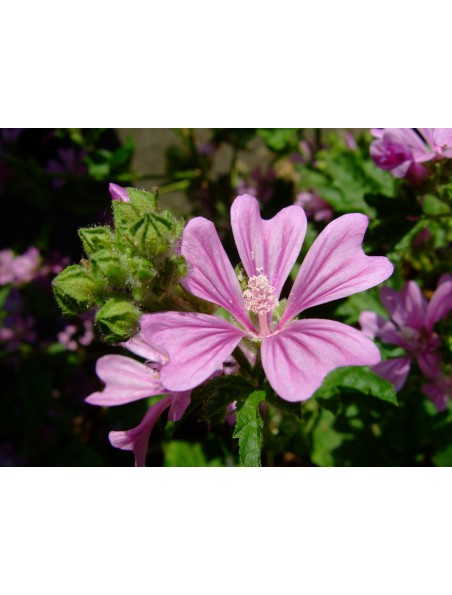 Mauve Bio - Voies respiratoires Teinture-mère Malva sylvestris 50 ml - Herbiolys