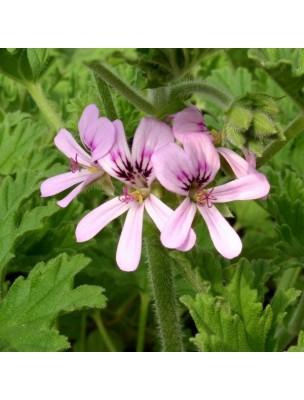 https://www.louis-herboristerie.com/11185-home_default/geranium-d-egypte-huile-essentielle-de-pelargonium-x-asperum-10-ml-pranarom.jpg