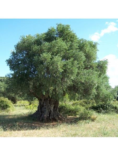 Olivier bourgeon Bio 50 ml - Circulation & Mémoire - Herbalgem