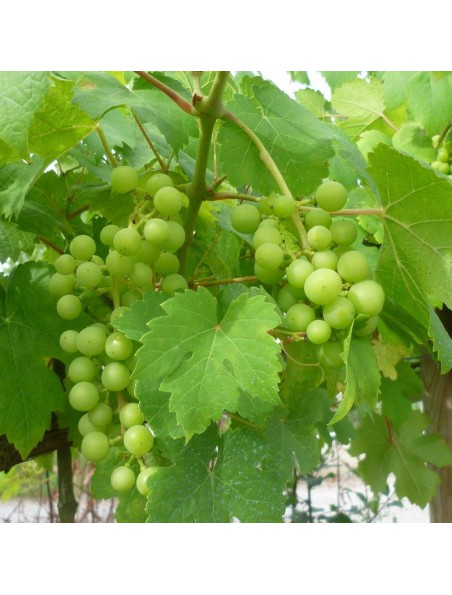 Vigne rouge Bio - Circulation Teinture-mère Vitis vinifera 50 ml - Biover