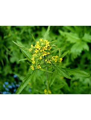 https://www.louis-herboristerie.com/11328-home_default/herbe-aux-chantres-bio-voix-teinture-mere-erysimum-officinale-50-ml-herbiolys.jpg