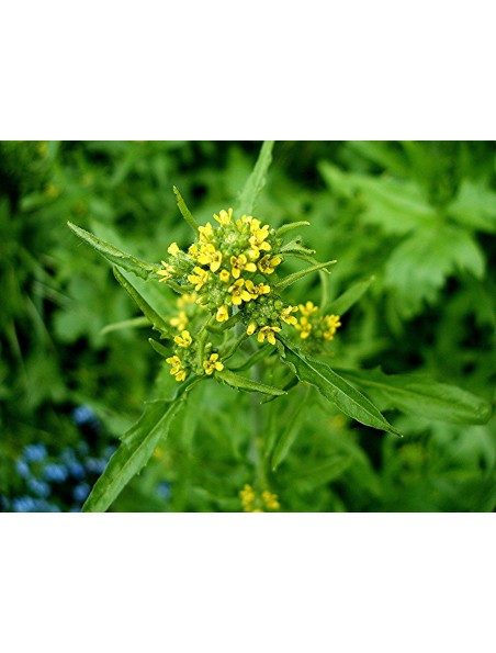Herbe aux chantres Bio - Voix Teinture-mère Erysimum officinale 50 ml - Herbiolys