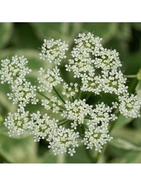 Herbe aux goutteux (Egopode) Bio - Articulations Teinture-mère Aegopodium podagraria 50 ml - Herbiolys