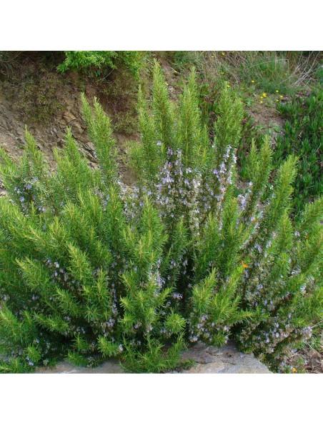 Romarin à verbénone Bio - Huile essentielle de Rosmarinus officinalis ct verbenone 5 ml - Pranarôm