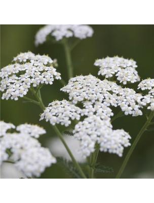 https://www.louis-herboristerie.com/11495-home_default/achillee-millefeuille-bio-hydrolat-eau-florale-200-ml-abiessence.jpg