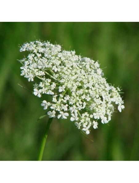 Carotte Bio - Dépurative Teinture-mère Daucus carota 50 ml - Herbiolys