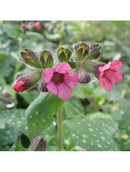 Pulmonaire Bio - Respiration Teinture-mère Pulmonaria officinalis 50 ml - Herbiolys