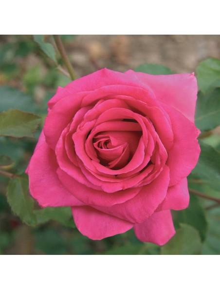 Rose de Damas Bio - Huile de macération Rosa damascena 50 ml - Abiessence