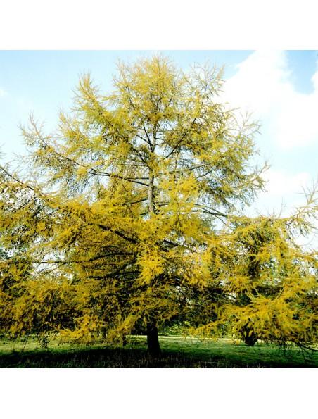 Mélèze Bio - Voies respiratoires Teinture-mère Larix europaea decidua 50 ml - Herbiolys
