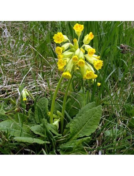 Primevère officinale Bio - Respiration Teinture-mère Primula officinalis 50 ml - Herbiolys