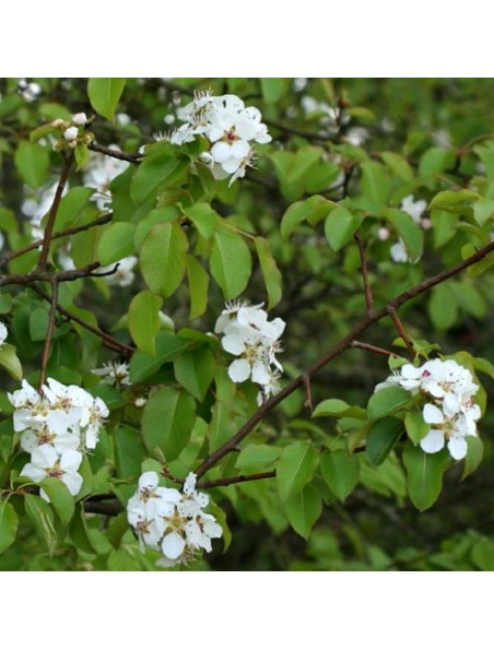 Poirier Fleur Bio - Anti-oxydant Teinture-mère Pyrus communis 50 ml - Herbiolys