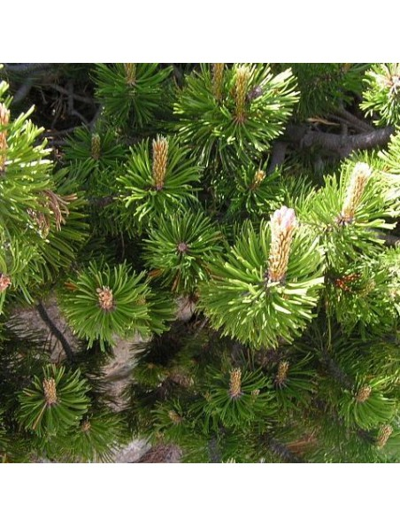 Pin des montagnes bourgeon Bio - Reminéralisant 15 ml - Herbalgem