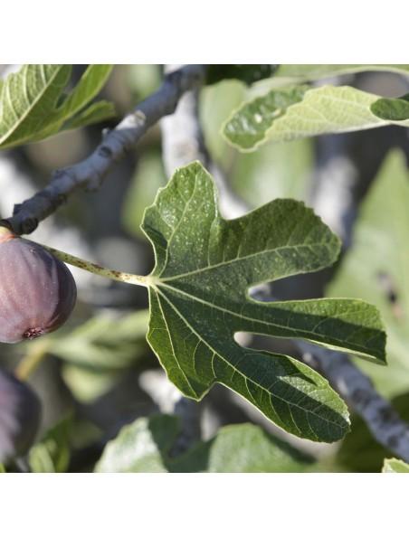 Figuier - Feuille coupée 100g - Tisane de Ficus carica