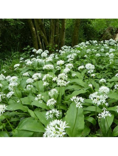Ail des Ours Bio - Feuille en poudre 100g - Tisane d'Allium ursinum