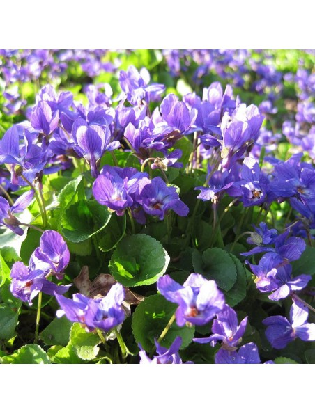 Violette odorante Bio - Calmante Teinture-mère Viola odorata 50 ml - Herbiolys