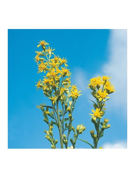 Verge d'or Bio - Voies urinaires Teinture-mère Solidago virgaurea 50 ml - Biover