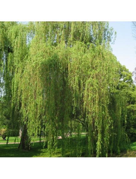 Saule Blanc Bio - Anti-inflammatoire Teinture-mère Salix alba 50 ml - Herbiolys