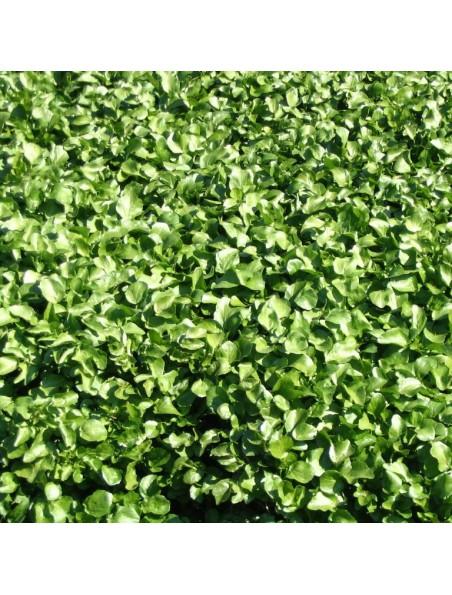 Cresson des fontaines Bio - Teinture-mère Nasturtium officinale 50 ml - Herbiolys