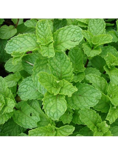 Menthe poivrée Bio - Hydrolat (eau florale) 200 ml - Abiessence