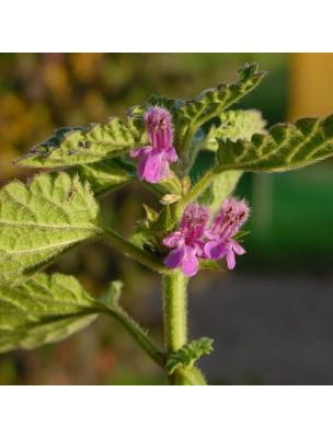 Ballote fétide Bio - Sommité fleurie 100g - Tisane de Ballota nigra