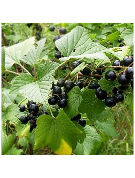 Cassissier (Feuille) Bio - Teinture-mère Ribes nigrum 50 ml - Herbiolys