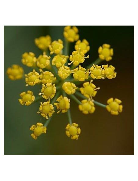 Fenouil Bio - Ballonnements & Ventre plat Teinture-mère Foeniculum vulgare 50 ml - Herbiolys