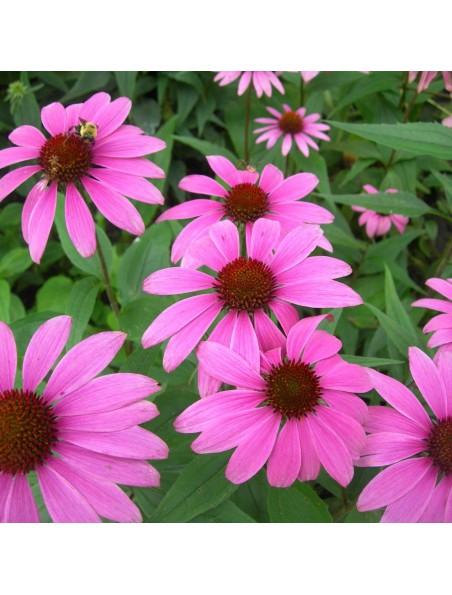 Echinacée pourpre Bio - Défenses immunitaires Teinture-mère Echinacea purpurea 50 ml - Herbiolys