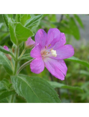 Epilobe à petites fleurs Bio - Prostate Teinture-mère Epilobium parviflorum 50 ml - Herbiolys