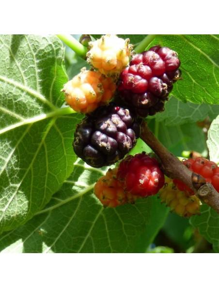 Mûrier noir Bio - Sucre Teinture-mère Morus nigra 50 ml - Herbiolys
