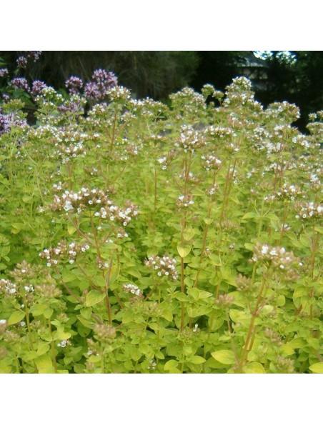 Origan Bio - Respiration & Digestion Teinture-mère Origanum vulgare 50 ml - Herbiolys