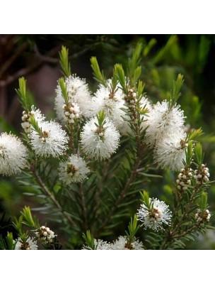 ▷ Tea tree (Arbre à thé) - Huile essentielle de Melaleuca